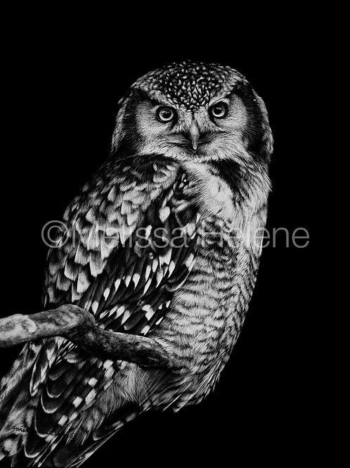 "Northern Hawk Owl | Original | 10""x8"""