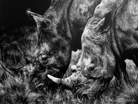 Rhinoceros | Endangered Species Series