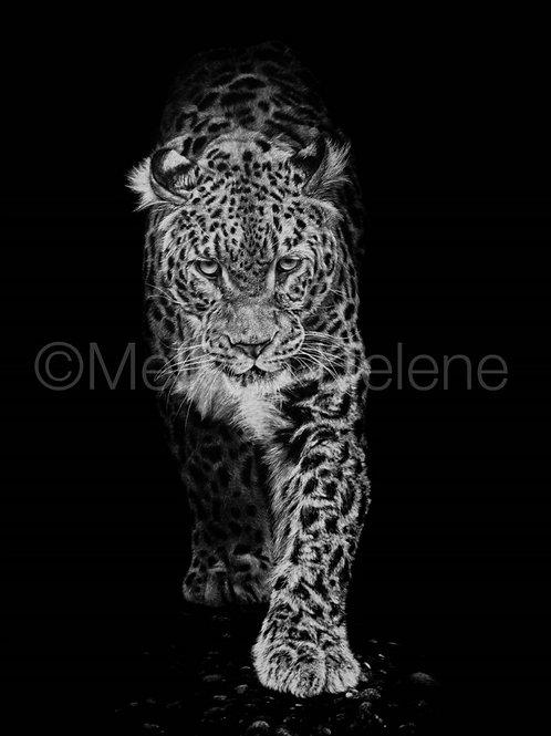 Amur Leopard | Reproduction
