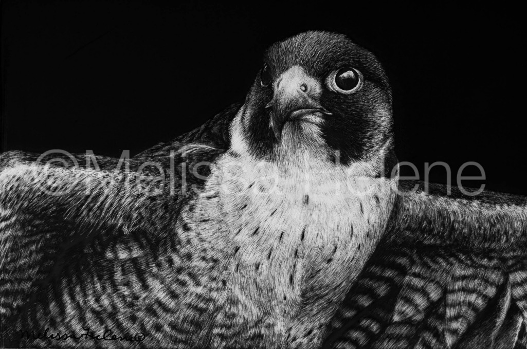 Bird - Peregrine Falcon (wm)