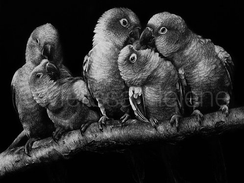 Pandemonium of Parakeets   Reproduction