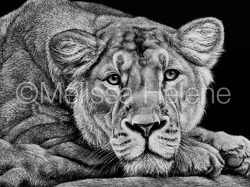 African Lioness | Reproduction