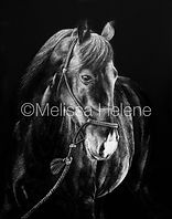 Horse scratchboard artwork, animal art, Melissa Helene Fine Arts, scratchboard artist
