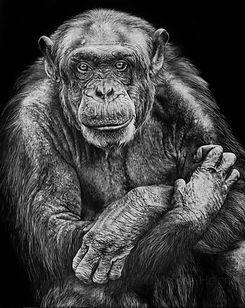 Chimpanzee, Scratchboard Art, Scratchboard Artist, Animal art, Wildlife art, Scratchboard Wildlife Art
