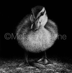 Bird - Mallard duckling (wm)