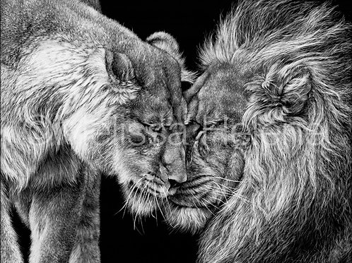 The King and Queen - Lions | Reproduction
