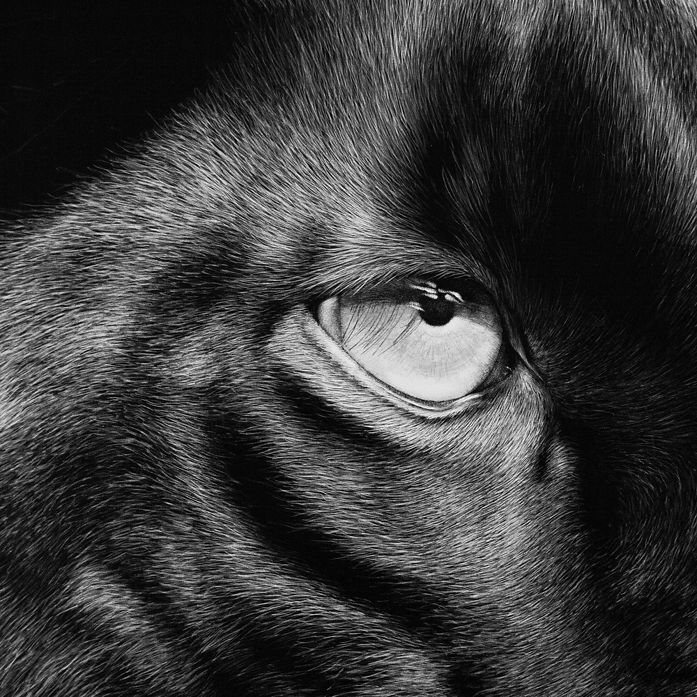 scratchboard, wildlife scratchboard, black fur, how to create black fur, scratchboard techniques, black panther, eye