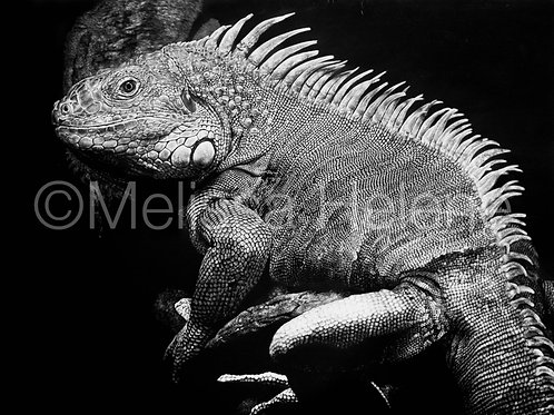 Green Iguana | Reproduction
