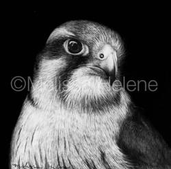 Bird - Falcon, Alpomado (wm)