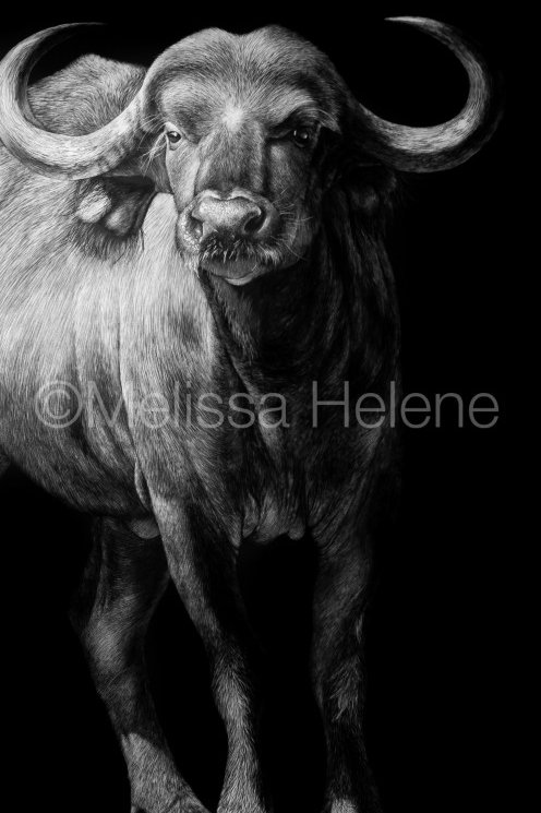 Cape Buffalo | Reproduction