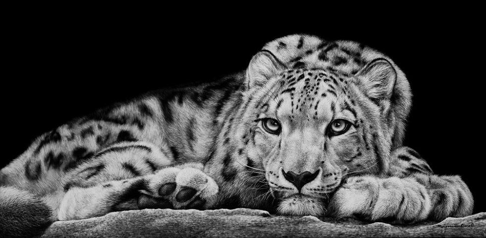 Snow leopard, scratchboard artwork, scratchboard snow leopard, endangered species art