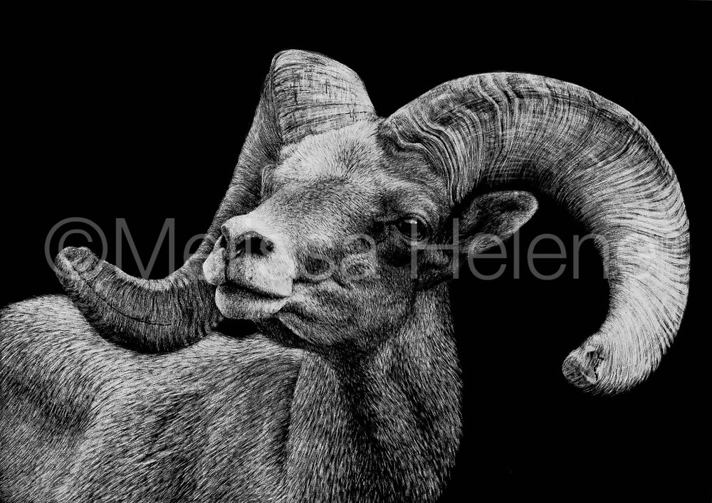 Bighorn Sheep scratchboard