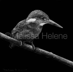 Bird - Kingfisher 2 (wm)