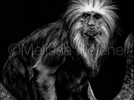 Golden Headed Lion Tamarin (Leontopithecus chrysomelas) | Endangered Species Series
