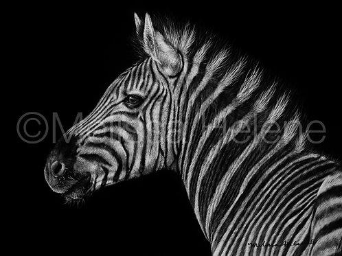 """Zebra   Original   5""""x7"""""""