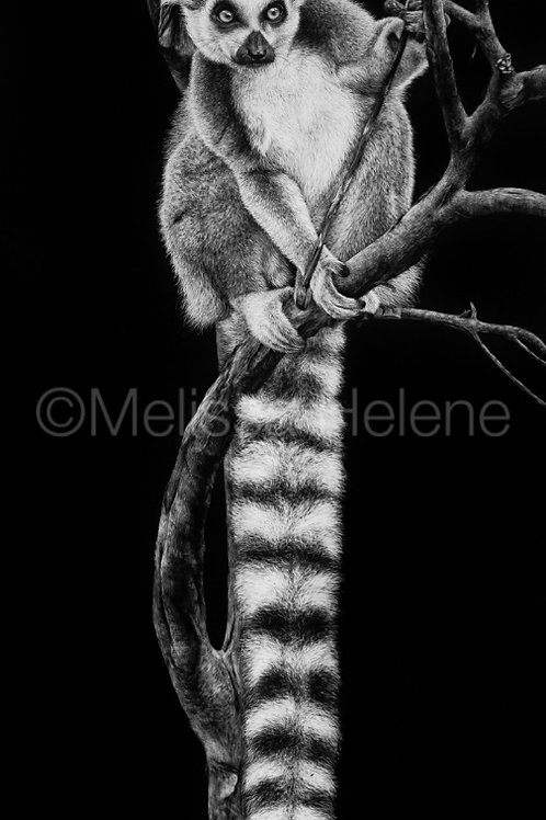"Ring-Tailed Lemur | Original | 20""x10"""