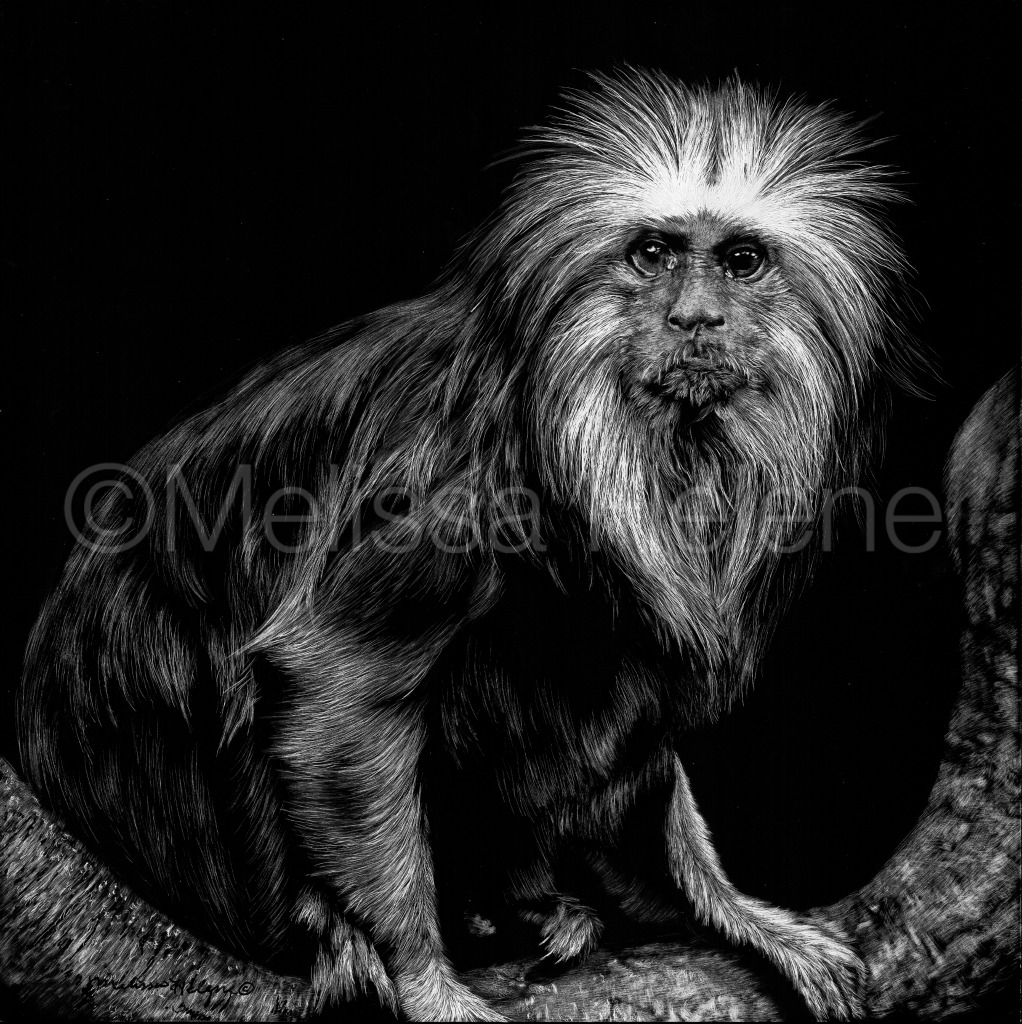 Tamarin, Golden Headed Lion