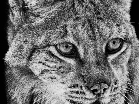 Lynx | Endangered Species Series