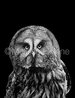 Great Grey Owl, bird art, owl art, Melissa Helene, scratchboard, animal artist, wildlife artist