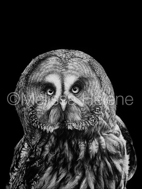 "Great Grey Owl | Original | 14""x11"""