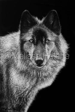 Wolf 12 (wm)