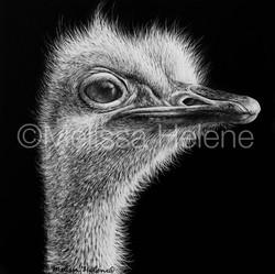 Bird - Ostrich 3 (wm)