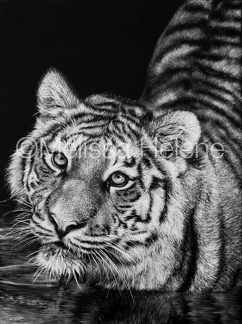 Tiger | Reproduction