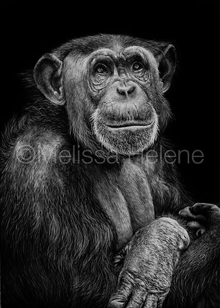 Chimpanzee scratchboard, wildlife artwork, scratchboard artwork, wildlife artist