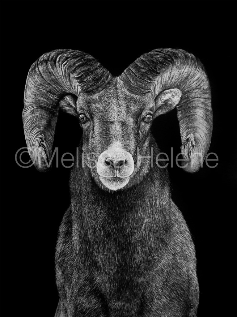 bighorn sheep, american wildlife, wildlife artwork, scratchboard, scratchboard artwork, art, artwork
