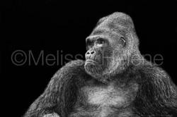 Gorilla 3 (wm)