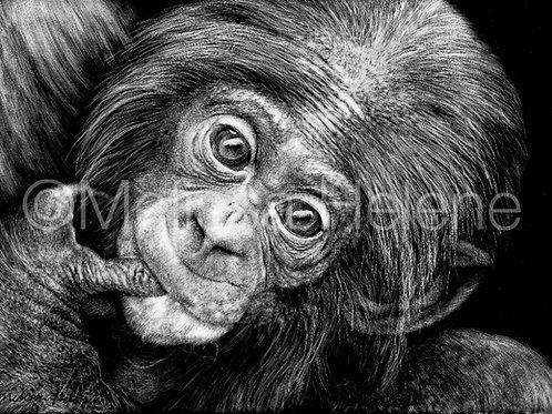 Bonobo Baby   Reproduction