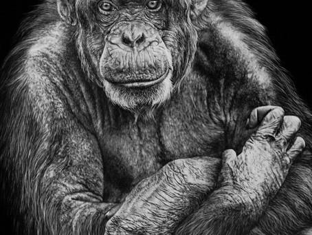 Chimpanzee | Endangered Species Series
