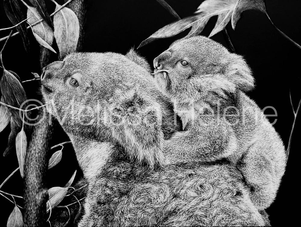 Koala, scratchboard, wildlife artwork, scratchboard wildlife art, art, artwork, animal art