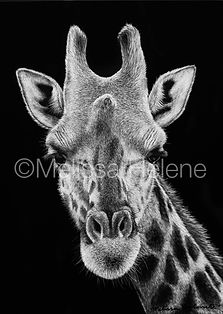 giraffe, Melissa Helene, scratchboard artwork, African wildlife