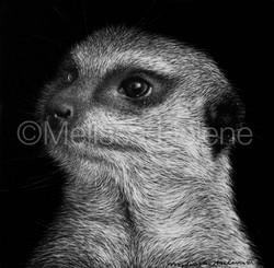 Meerkat 2 (wm)