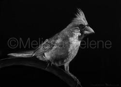 Bird - Cardinal 3 (wm)
