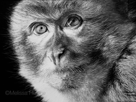 Endangered Species Series | Barbary Macaque (Macaca sylvanus)