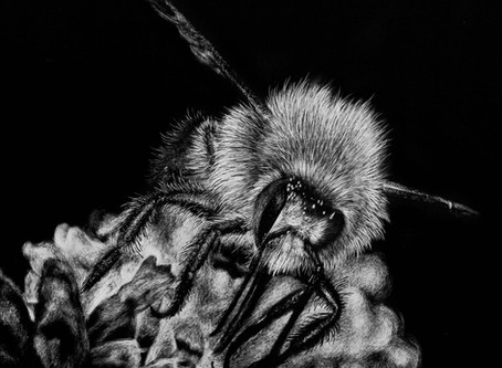 Bumblebee | Endangered Species Series