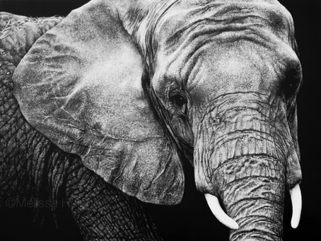 African Elephant | Endangered Species Series