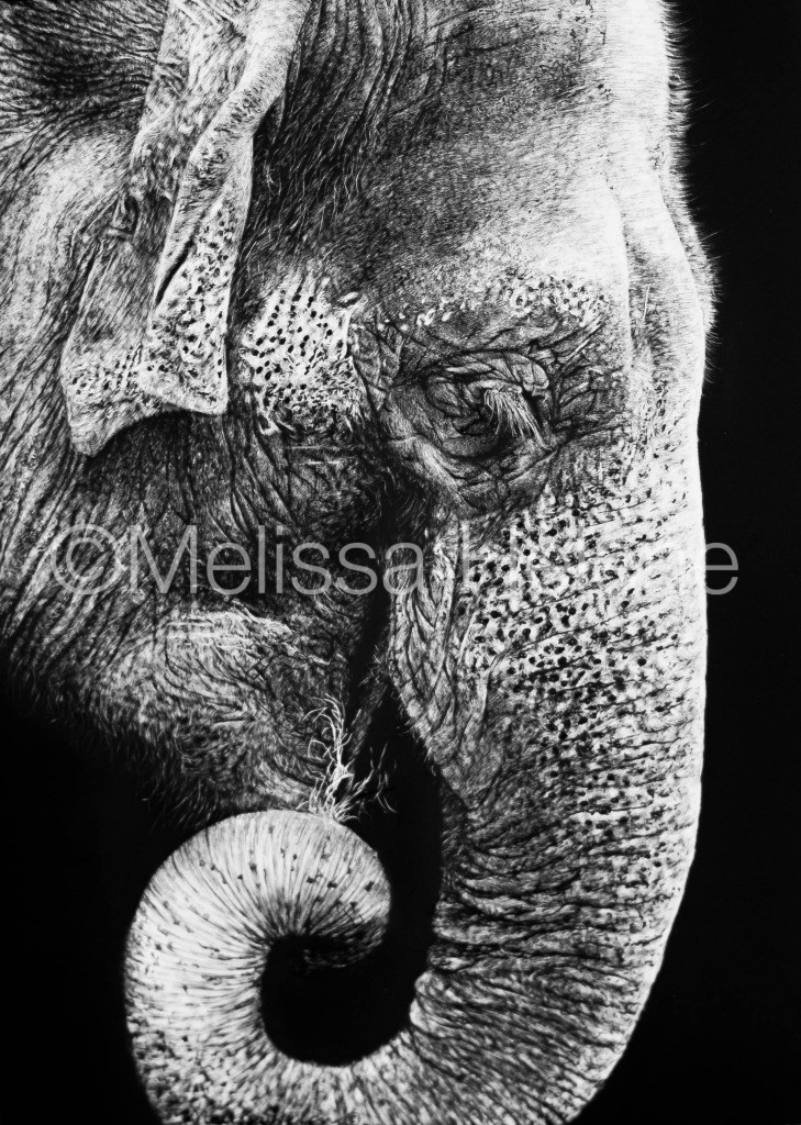 Asian Elephant scratchboard