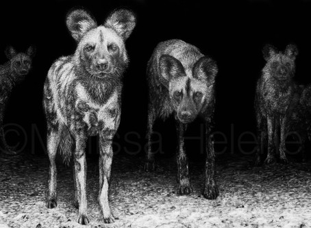 Endangered Species Series: Re-Introduction + African Wild Dogs