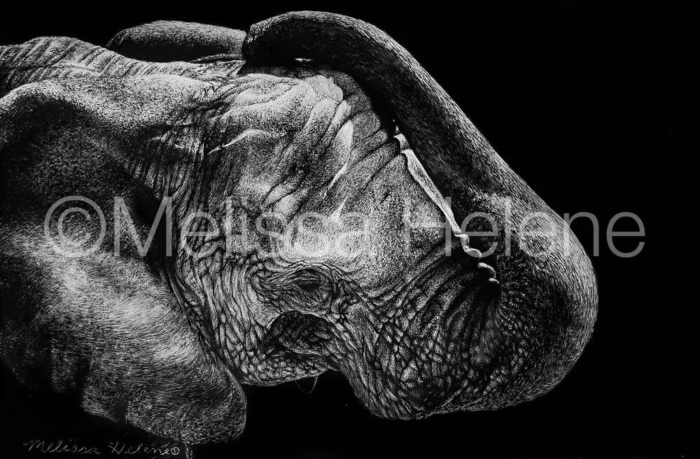 african elephant, scratchboard, scratchboard artwork, wildlife artwork, animal art, elephant