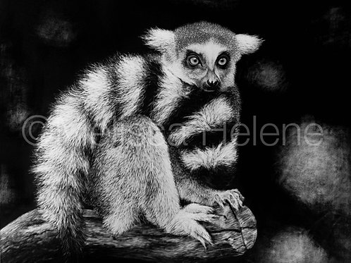 Ring-tailed Lemur | Reproduction