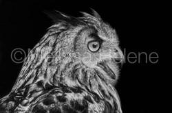 Bird - Owl, Eagle (wm)