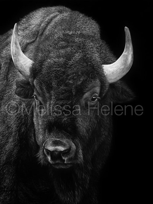 American Bison | Reproduction
