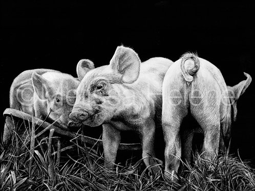 Pigs | Reproduction