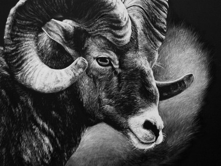 Bighorn Sheep (Ovis canadensis) | Endangered Species Series