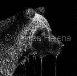 Bear, Grizzly 4 (wm)