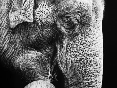 Asian Elephant | Endangered Species Series