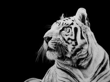 tiger, tiger artwork, scratchboard, tiger scratchboard, scratchboard artwork, wildlife artwork